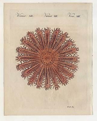 Der seeigelförmige Meerstern - Meerestiere - Bertuch-Kupferstich 1810