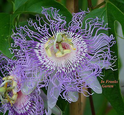 Passiflora incarnata @ Passionsblume @ essbare Früchte @ winterhart @ 5 Samen ()