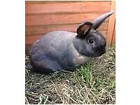 Two beautiful brown 3yo pet rabbits. 1 boy and 1 (neutered) girl. Well handled and very friendly