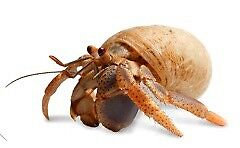 Looking to Adopt some Hermit Crabs
