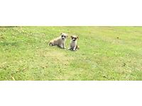 JAKIHUAHUA! Jack Russell x chihuahua pups