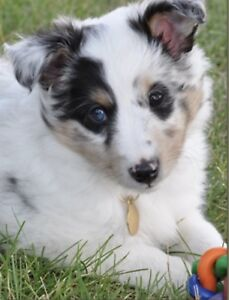 Looking for Sheltie pup or breeder