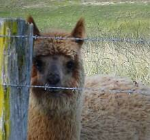 Alpaca female 8 mths old Nicholson East Gippsland Preview