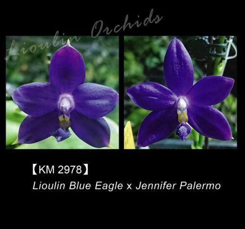 Novelty Phal Phalaenopsis (Lioulin Blue Eagle x Jennifer Palermo)-Mainshow Orch