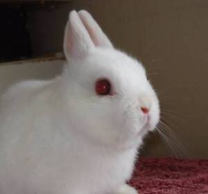 Netherland Dwarf Baby --FROSTY POINT - Brown Eyes not red. Villawood Bankstown Area Preview