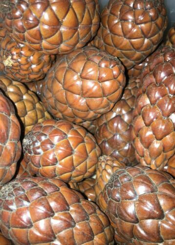 10 Dried Thika/ Uxi/ Raffia Pods Long Lasting Botanical Autumn Fall Potpourri
