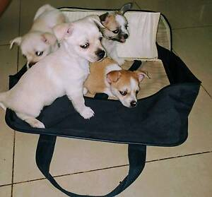 3 West Highland White Terrier X Chihuahua Puppies For sale Yanchep Wanneroo Area Preview