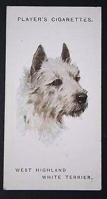 West Highland White Terrier     Vintage 1902's Dog Portrait Card  VGC