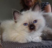 Birman Kittens Caboolture Caboolture Area Preview