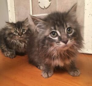 PUREBRED MAINE COON BROTHERS