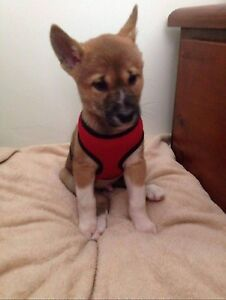 WTB SMALL PUPPY Adelaide CBD Adelaide City Preview