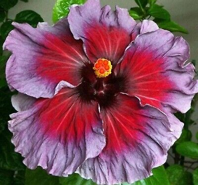 Bargain Center -  Beautiful  Blue & Red Center Hibiscus Seeds 50 Seeds BUY 4 ITEMS FREE SHIPPING!