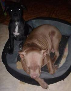 One pup left American red nose staff X Am/english Staffy Anderleigh Gympie Area Preview