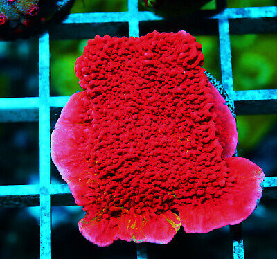 Grafted Monti Cap 2 In Montipora Zoanthids Paly Zoa Soft Coral WYSIWYG - $11.50