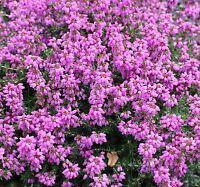 (4 Pack) 9cm Pot Heather Erica Cineria My Love Summer Flowering Upright Blue - growon shrubs - ebay.co.uk