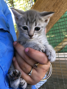 Foster carers needed for Rescue kittens ( all male)