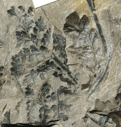 Very rare, coal age fossil plant fern Sphyropteris obliqua & fern Mariopteris !