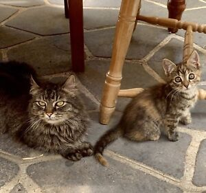 Tabby x Persian healthy toilet trained kittens