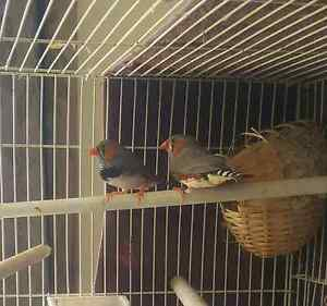 Zebra finches  $10 for both Burra Queanbeyan Area Preview