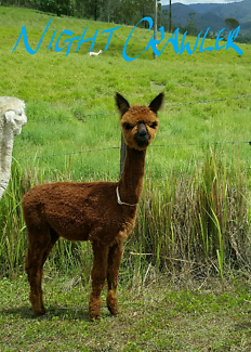 4 male alpacas 8 mouths old free delivery