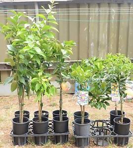 Plant – Citrus Trees $29.95 each Northmead Parramatta Area Preview