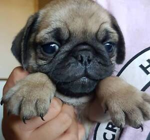 Wanted: Pug Puppies M & F 8 Weeks Old  Ready To Go Now