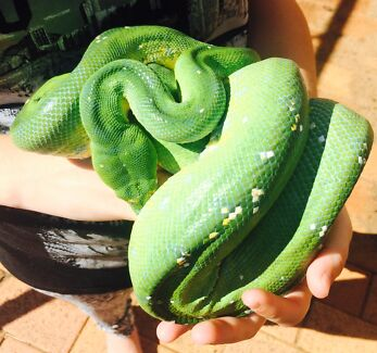 Aru type green tree python Laidley Lockyer Valley Preview