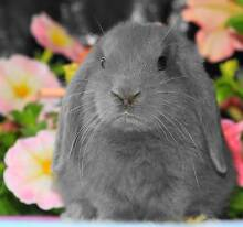 BABY DWARFS, LOPS AND DUTCH (from $20) Clayton Monash Area Preview