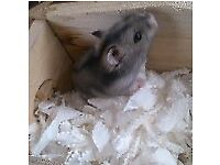 11 month old dwaft hamster for sale