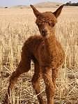 Alpaca & Llama Castrations Adelaide CBD Adelaide City Preview