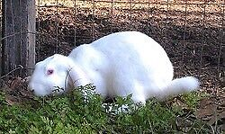 Lovely english lop
