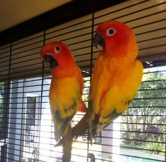 Bonded Sun Conures (both tame) with Cage Elanora Gold Coast South Preview