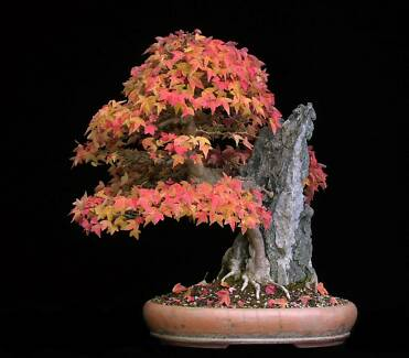 Jac rare plants --acer buergerianum -- chinese trident maple Greenbank Logan Area Preview