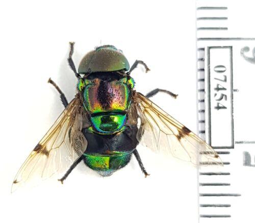 Diptera sp. Madagascar BEAUTIFUL specimen