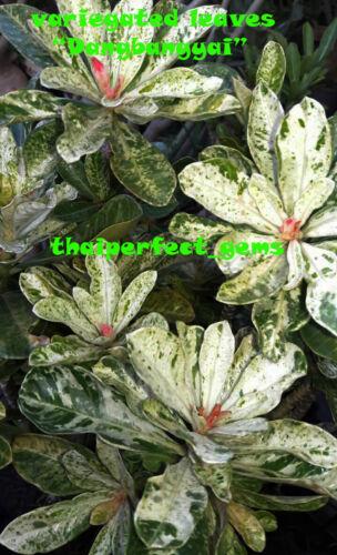 "ADENIUM OBESUM DESERT ROSE VARIEGATED LEAVES ""DANGBANGYAI"" ONE GRAFTED PLANT"