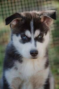 Siberian Husky Puppies - Only two left!