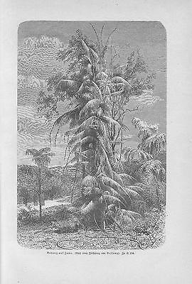 Rattanpalme Rotangpalme Rattan Calamus HOLZSTICH von 1898 Botanik