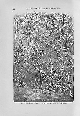 Mangroven Rhizophora conjugata Mangrovenbäume HOLZSTICH von 1898 Botanik