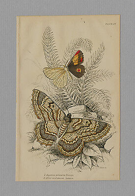Angerona Prunaria   Alcis Scolopacea Moths Hand Colored Print Jardine 1875