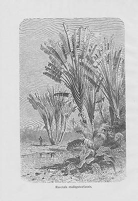 Baum der Reisenden Ravenala madagascariensis DRUCK von 1898 Botanik