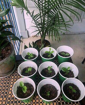 Organic Lemon Tree Seedlings Lisbon Starter Plugs