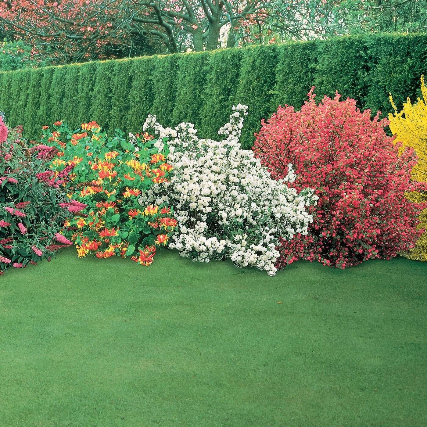 Landscape Borders Plants : Garden shrubs quality potted plants colourful border