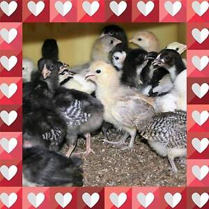 Young Baby Chicks (3-4 Weeks Old) (Sexed) Richmond Hawkesbury Area Preview