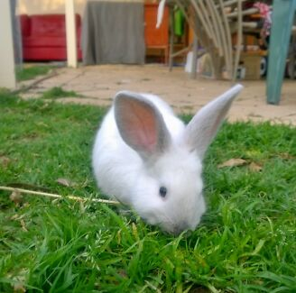Dwarf Lop X Rabbits South Plympton Marion Area Preview