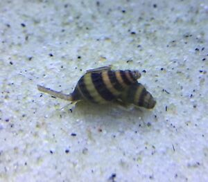 Assassin snails for sale