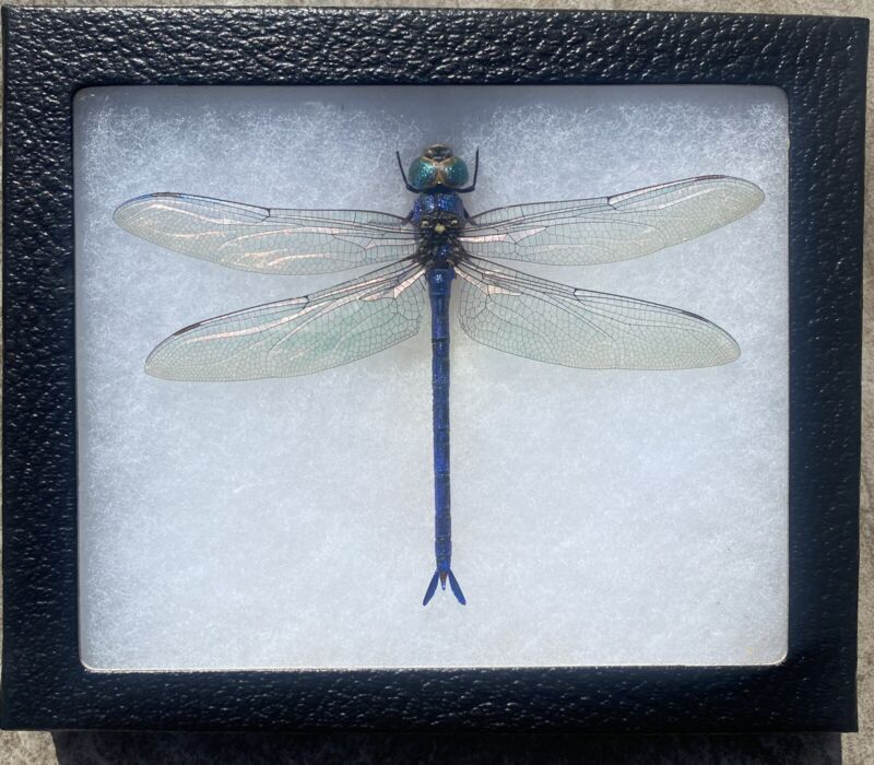 Real mounted Dragonfly ! Beautiful !