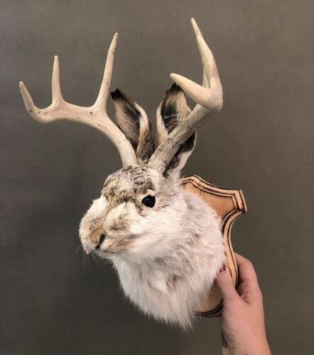 Taxidermy Jackalope on Traditional Wood Plaque Rustic Cabin Oddities Funny Weird