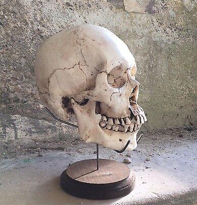 Skull Stand Real Human SKULL NOT INCL Display Craniometer Skeleton Medical bone