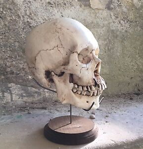 Human Skull Stand Display Bones Skeleton Replica Specimen