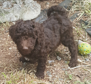 Very cute miniature Poodle puppies